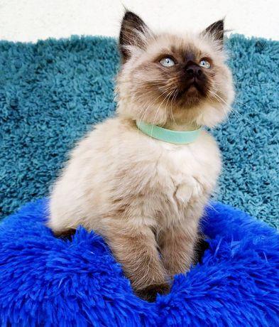 Kotka Ragdoll, kociczka Ragdoll