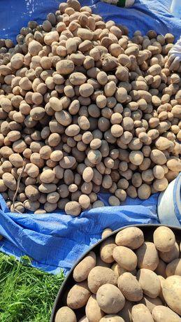 Продам картоплю домашню велику сорту тайфун та ароза.