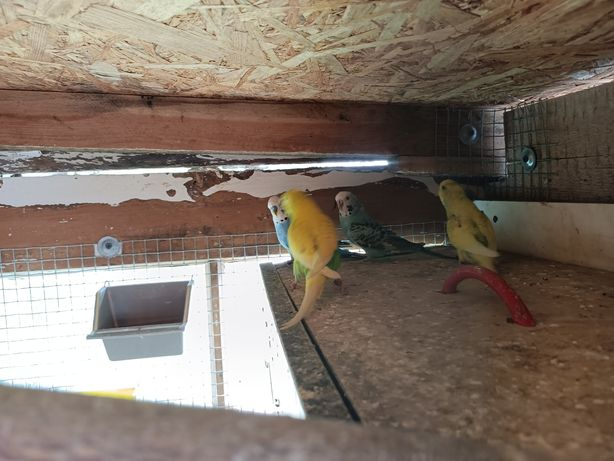 Papuga falista  pary