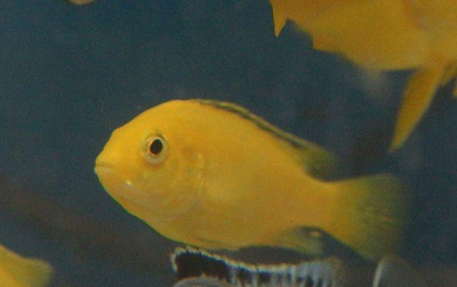 Pyszczaki malawi Labidochromis caeruleus yellow - Transport