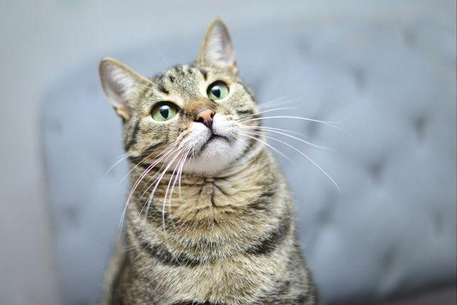віддам кота кастрований котик, можно 2 в родину