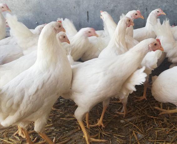 Kurki Leghorn i Sandy z jajkiem,wysyłka, nioska 20 tyg,kury szczepione