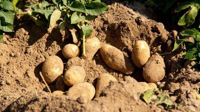 Маленька картопля