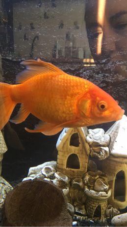 Продам золоту рибку для акваріума