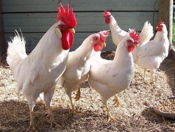 Ломан Браун петушки курочки Бройлер куры цыплята корм подрост