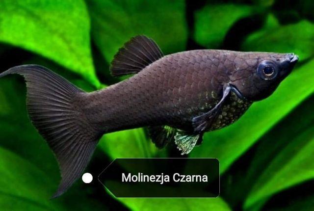 Molinezja Czarna Rybak Akwariowa