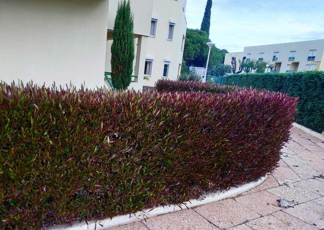 Arvores para sebes crescimento rapido