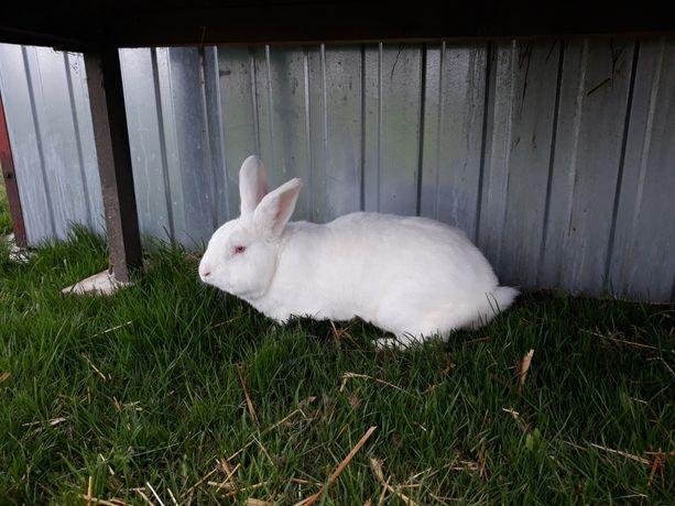 Królik króliki Samiec termondzki biały dorosły ze stycznia 2020