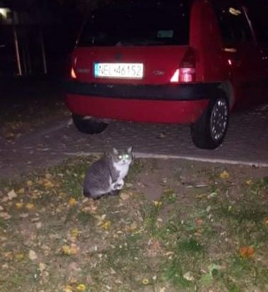 Błąka się szaro-biały kot/kotka