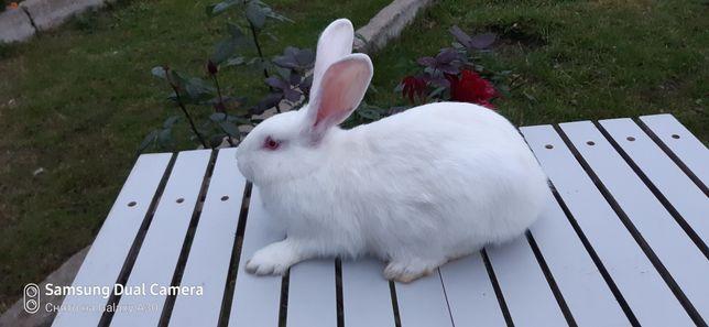 Кролі кролики кроленята панон