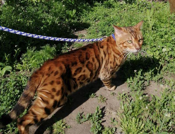Кот бенгальской породы. Вязка