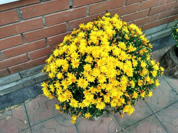 Хризантемы шаровидные, саженцы.