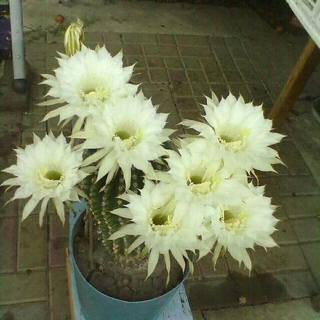 Детки цветущего кактуса Эхинопсис