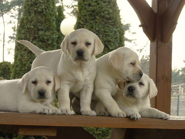 labrador, labradory- urocze szczenięta