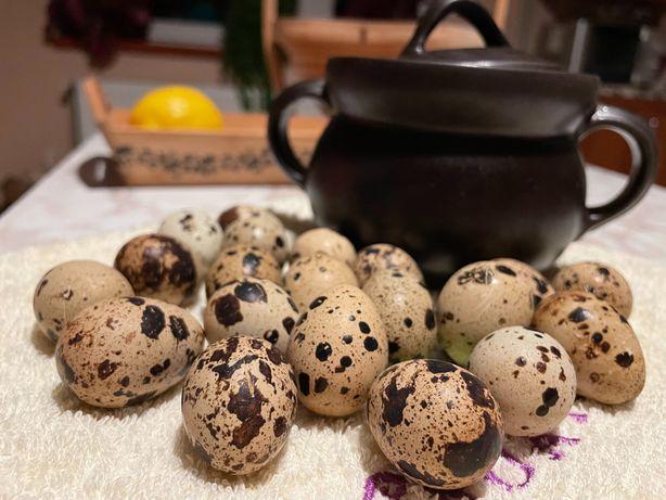 Jajka przepiórcze domowa hodowla
