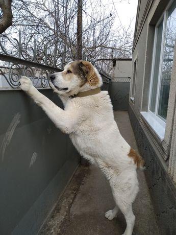 Вязка, алабай кабель 3 года.Собака не отдаётся !Читайте внимательно!
