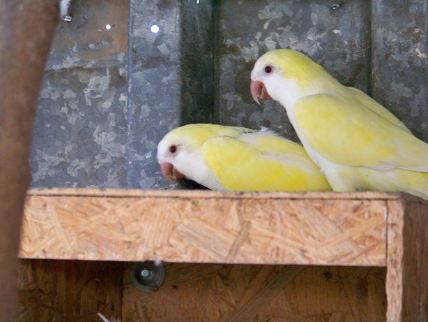 Dorosłą parę papug