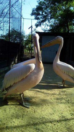Водоплавающая птица с большим клювов Пеликн собственное разведение