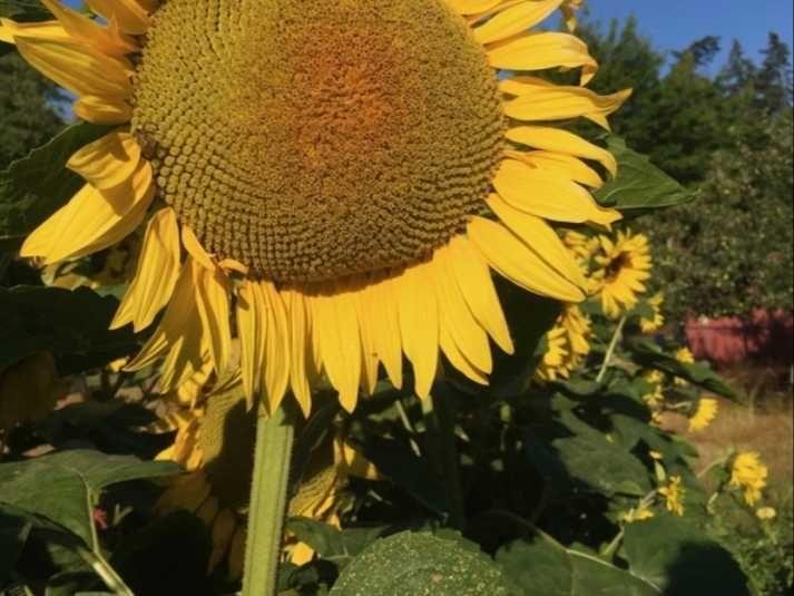 Vendo semente girassol Vila Nova de Foz Côa - imagem 1