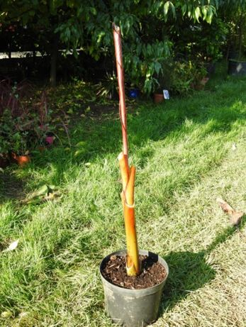 Bananowiec Maurelli Ensete Ventricosum abisyński