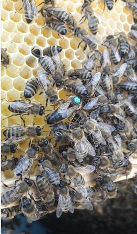 Власна пасіка Матка Вучковского типа Карпатки Пчелиная матка
