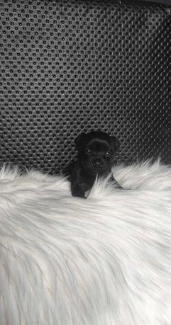 Suczka Black Yorkshire Terrier
