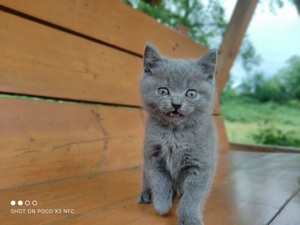 Британський прямовуха кішка