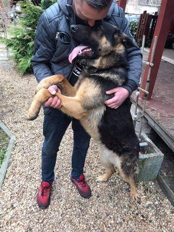 Oddam psa rocznego dużego rasy owczarka bez rodowodu w dobre ręce