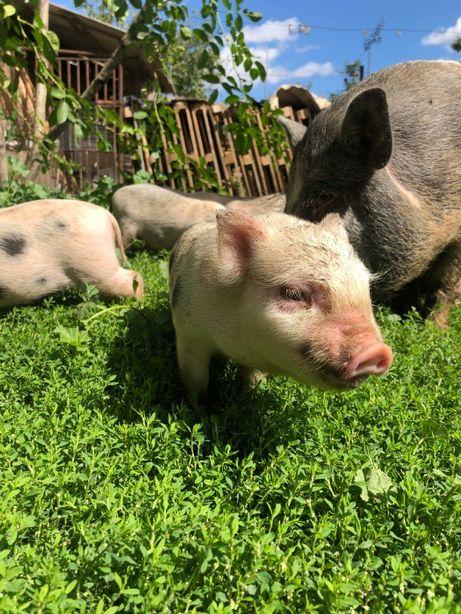 Продам В'єтнамські Поросята, В'єтнамські свині