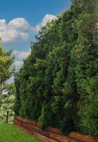 Przesłona zielona - Gazon skalny - 9m Wysokie drzewa