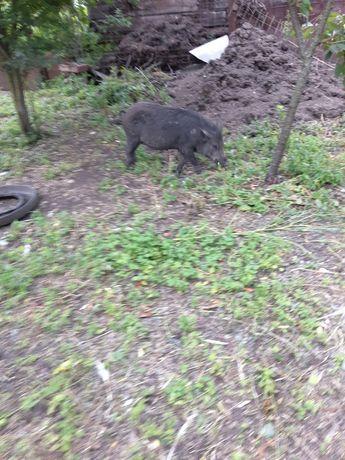 Дикі свинки продам