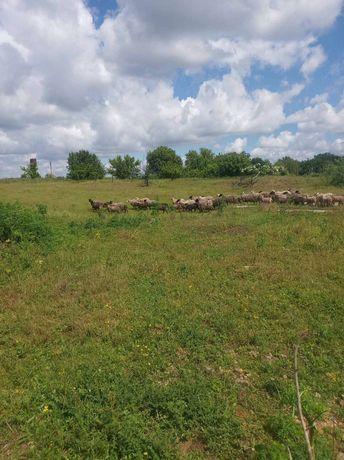 Продам овцы ягнята жывым весом также тушкы