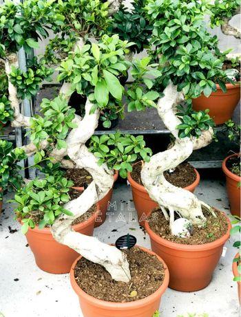 Bonsai Ficus Adulto (grande, de folha larga)