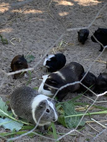 Acessorios porquinhos da india