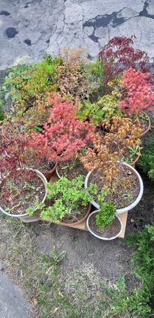 Rośliny bonsai. Głównie klony japońskie.