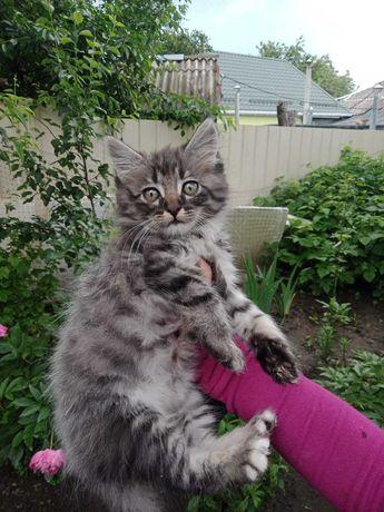 Пушистый котенок полосатый табби