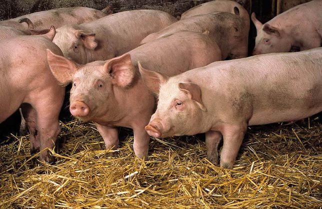 Продам свиней!!!живым весом или тушкой!!!