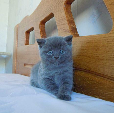 Очаровательный шотландский котик
