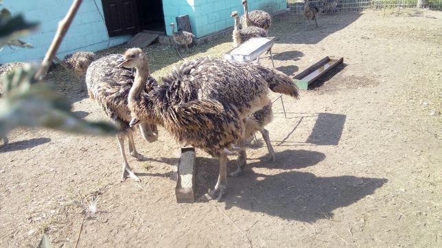 Продажа страусят