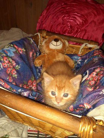 Рыжее солнышко, котёнок-мальчик, 2 мес.
