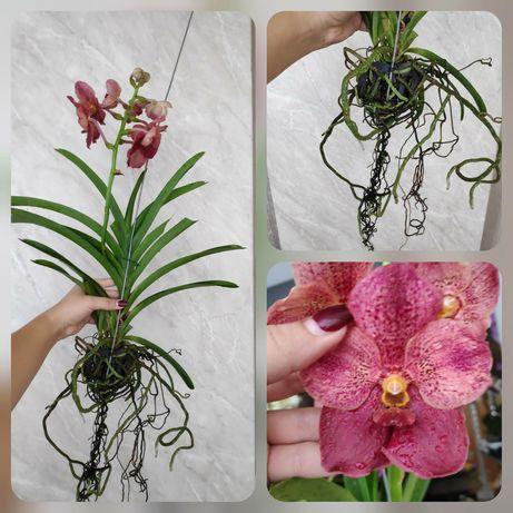 Розіграш Орхідеї