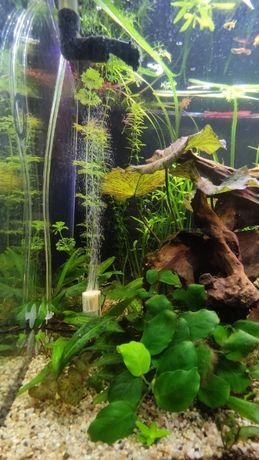 Anubias zdrowa sadzonka Rośliny akwariowe