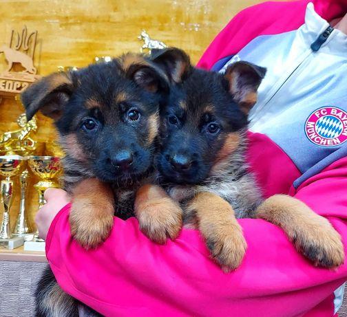 Продам племенных щенков немецкой овчарки