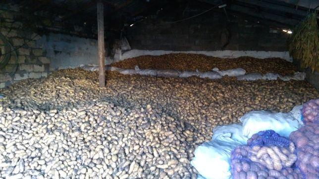 Посадочный картофель сорта Гранада