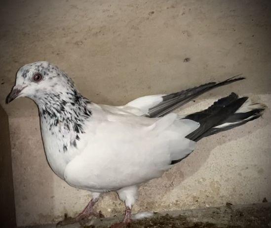 Продам голубей( голуби )