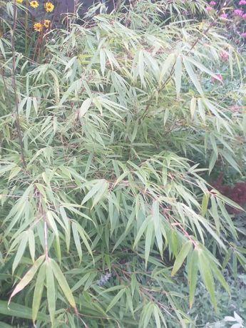 bambus sadzonki w doniczce p9
