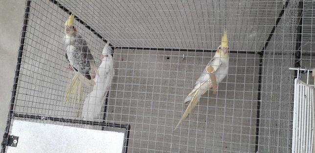 Caturras xl novas uma albina e 2 perolas vendo em conjunto