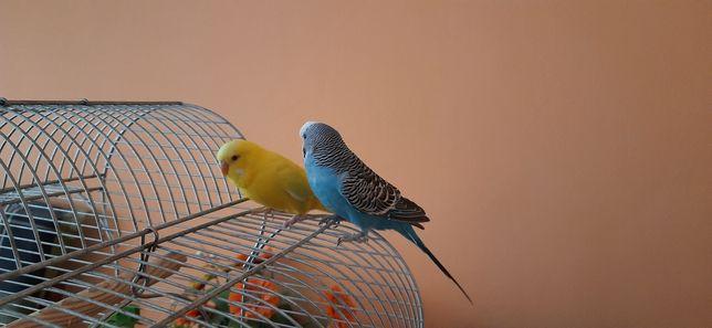 Papugi Faliste + duża klatka + jedzenie