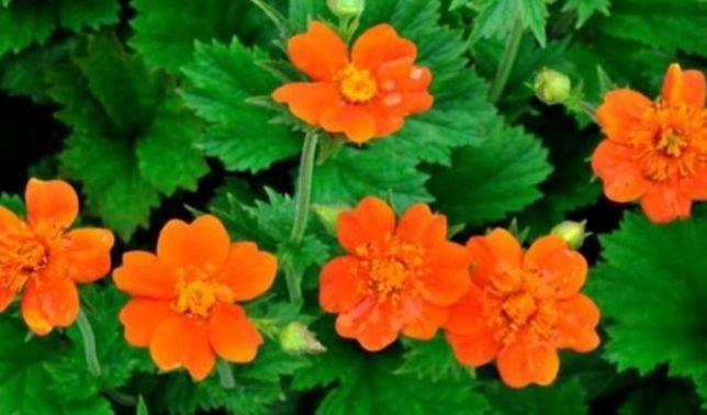 Гравилат чилийский гравілат багаторічні цвети  многолетние бордюрние