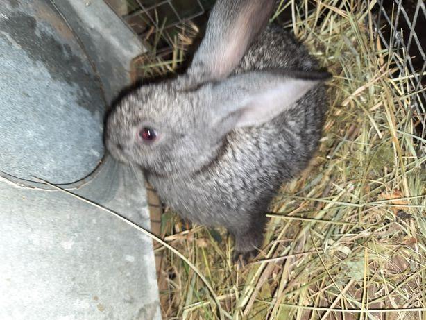 Продам кроликов,мясных  пород